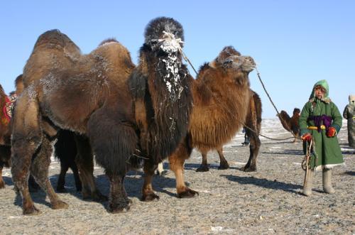 красный гобийский верблюд