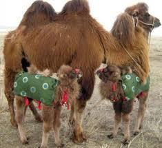 верблюдица с верблюжатами