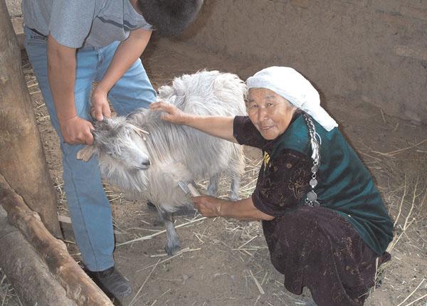 Казахстанская кашемировая коза
