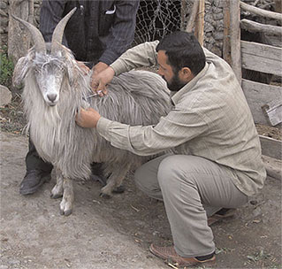 Кашемировая коза (Таджикистан)